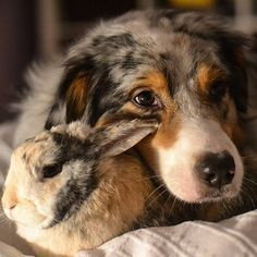 This Australian shepherd and his bunny friend are inseparable. They even have the same color fur! Source: Instagram user happy_aussie