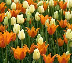 Citrus Twist Tulip