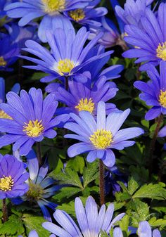 "Blue Grecian Windflower.  Cheap, easy to grow, and ""one of the loveliest of flowers,"" as Louise Beebe Wilder wrote in 1936, this woodland gem naturalizes happily in bright shade."