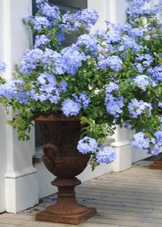 I Love my Blue Plumbago.  It would look great in this iron container.