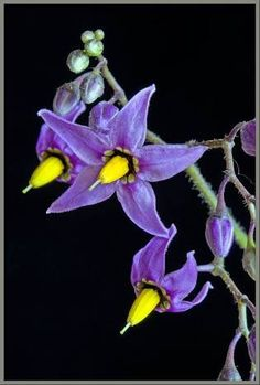 Atropa Belladona (Deadly Nightshade): filled with poison but blessed with beauty and rage