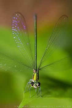 exquisito...........dragonfly
