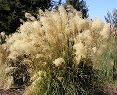 Evergreen Maiden Grass