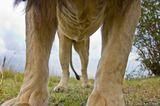 Lion Rib Cage