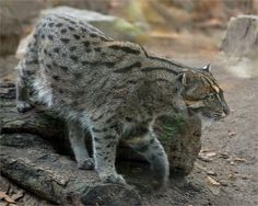 Fishing cat (Prionailurus viverrinus) photographed by Martien Ulterweerd at Duisburg Zoo Germany. The fishing cat is distributed throughout southern and southeast Asia, found in northeastern India, the foot of the Himalayas in Nepal and India, and a few scattered areas in Bangladesh, Indus Valley Pakistan, Sri Lanka, Vietnam, Thailand, Burma and in the Indonesian Islands of Sumatra and Java. Small Wild Cats, Small Cat, Big Cats, Cute Cats, Fluffy Animals, Cute Animals, Wild Animals, Beautiful Cats, Animals Beautiful