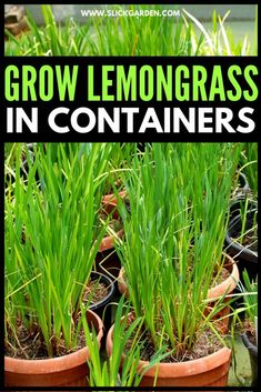 Organic Mulch, Organic Compost, Gardening For Beginners, Gardening Tips, Sustainable Gardening, Balcony Gardening, Gardening Gloves, Grow Lemongrass, Lemongrass Recipes