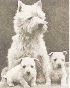 1920. Westie with pups.