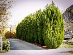 If you are looking for a beautiful hedge that can decorate your garden as well as grow easily then Skip laurel plants best for you. Skip laurel plants have gorgeous look and it turns into beautiful shape as you wish. So if you having a desire for making beautiful garden then you should use Skip laurel plants in your garden.