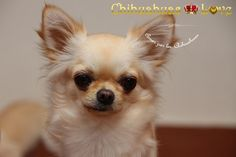 Chihuahuas Love - Nos Proponen Escribir Sobre Chihuahuas. Chihuahuas y Este Blog.