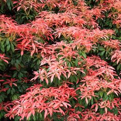 Pieris forest Flamme feuillage rouge