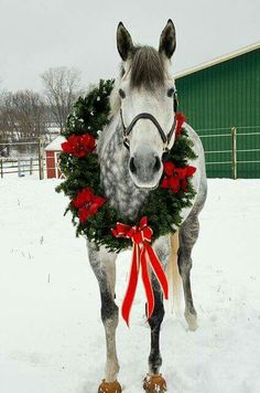 Awe, perfect horse Christamas card idea! Dapple Grey horse with a wreath on.