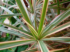 02-dracena Plantas que purificam o ar. A Dracena não pede sol. Mas não gosta de lugares muito frios. Deixe-a em local iluminado e regue diariamente (sem encharcar o solo).