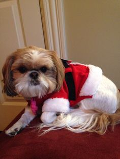 My Shih Tzu in her Christmas outfit!! Awww