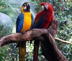 Parrots in Suriname