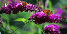 Butterfly Bush-my neighbor plants these and in the summer i sit outside surrounded by butterflies; heaven on earth.