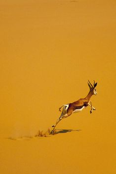 Springbok in desert - Angola by Eric Lafforgue Desert Animals, Nature Animals, Animals And Pets, Cute Animals, Wildlife Photography, Animal Photography, Beautiful Creatures, Animals Beautiful, African Animals