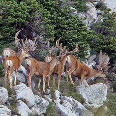 Another Big Buck for Sean (Contest Winner! Deer Hunting Videos, Whitetail Deer Pictures, Mule Deer Hunting, Big Deer, Large Animals, Wild Animals, Deer Family, Pet Birds, Wildlife