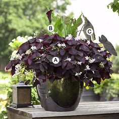 This dramatic combination features contrasting foliage texture and color accented by interesting flowers. The dark glazed container is perfect here.  A. Oxalis regnellii -- 7   B. Calla (Zantedeschia 'Black Forest') -- 1  C. Elephant's ears (Colocasia 'Illustris') -- 1