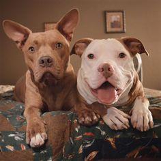 I love Pit Bulls! #pitbull