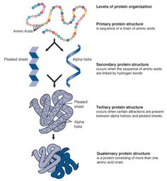 a description of an enzyme as a tertiary globular protein Globular protein vs fibrous by enzymes and are extremely tensile globular proteins are made up of not only primary, secondary but also tertiary and.