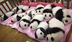 Baby panda panda panda