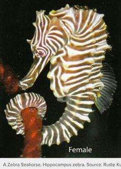 Female zebra seahorse
