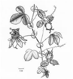 passiflora markiana - Google Search Flower Art, Google Search, Tattoos, Flowers, Art Floral, Tatuajes, Tattoo, Royal Icing Flowers, Flower