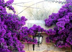 bougainville purple wall lampe plant portugal