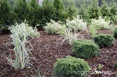 Zimozielony ogród przy białym domu - strona 105 - Forum ogrodnicze - Ogrodowisko