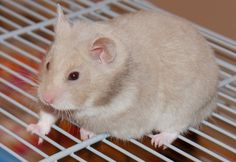 Lilac - Syrian Hamster