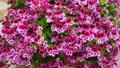 Muškáty jsou velmi populární květinou, která zdobí celou řadu balkonů. Pokud i ten váš, naučíme vás, jak o ně správně pečovat a jak zajistit nádherné květy. Řada lidí dělá často to, že vyrážejí do obchodů, kde nakupují chemická hnojiva, různé substráty a řadu drahých produktů, které mají za cíl podpořit růst a hlavně květ. Nejenom, […] Flora, Plants, Household, Management, Tablet Computer, Balcony, Plant, Planets