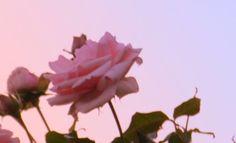 Imagem de grunge, pink, and rose Baby Pink Aesthetic, Aesthetic Grunge, Pretty Pastel, Pretty Flowers, Pastel Pink, Lilac, Yukata, Brooklyn Baby, Sick