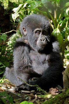 Infant Gorilla, Bwindi (Ian and Kate Bruce) by Naturetrek Wildlife Holidays, via Flickr