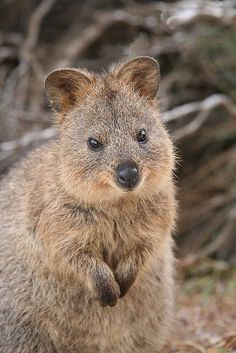 The Quokka is a native Australian animal found only on Rottnest Island, Western Australia.