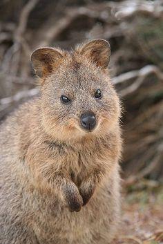 The Quokka is a native Australian animal found only on Rottnest Island, Western Australia.