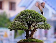 ♣☼How do you like this pretty #bonsai tree?♣♦ #BonsaiInspiration
