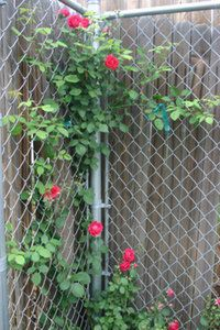 Climbing vines for covering chain link fence