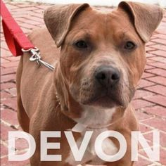 Devon enjoys walks & belly rubs. Call 585-428-7274 if you are interested in adopting him.