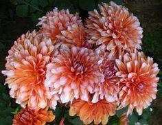 Lovely Dahlias!  Short post on this lovely flower at Bubblews