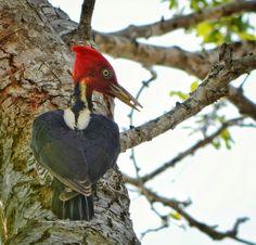 Pájaro carpintero plateado en un árbol de huamuchil
