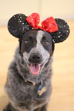Is there anything cuter?? Blue Heeler cross Border Collie dog