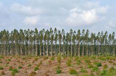 Les USA se prononceront début juillet sur une demande d'autorisation d'ArborGen pour ses eucalyptus transgéniques résistants au gel. Des régions jusqu'ici préservées pourraient être colonisées par les monocultures d'eucalyptus. Les OGM sont rejetés par les citoyens du monde entier. Dites vous aussi : stop aux arbres transgéniques !