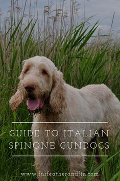 Read our guide on the Italian Spinone! Would you choose it as a hunt point retrieve gundog? Big Dogs, Large Dogs, Dogs And Puppies, Italian Spinone, Fluffy Cows, The Kennel Club, Dog List, Large Dog Breeds, Hunting Dogs
