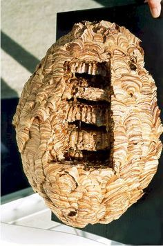 How to preserve a hornet's nest