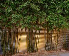 Bamboo Landscaping Ideas Incredible bamboo plants brisbane just on interioropedia home design.Incredible bamboo plants brisbane just on interioropedia home design. Bamboo Hedge, Bamboo Privacy Fence, Bamboo Planter, Garden Privacy, Bamboo Screen Garden, Potted Bamboo, Bamboo Palm, Privacy Plants, Backyard Privacy