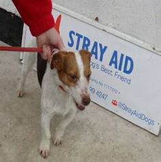 Male adult stray found in West Auckland on 21/02/16