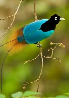 Blue Bird of Paradise is seen foraging in Papua New Guinea  (320×455)