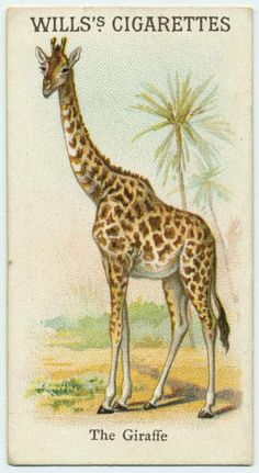 The Giraffe - Animals & Birds series for Will's Cigarettes from The New York Public Library Digital Collections. Giraffe Illustration, Nature Illustration, Antique Illustration, Animal Illustrations, Vintage Drawing, Vintage Art, Boy Wall Art, Vintage Book Covers, Plant Drawing
