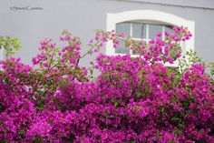 Bouganvília em jardim residencial no Estoril, Portugal. Julho, 2016.