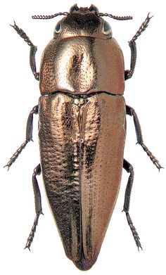sphenoptera cuprina -  the Jewel Beetles of Bulgaria - see…